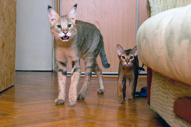 Рейтинг самых дорогих пород кошек: Чаузи, шаузи, хаузи