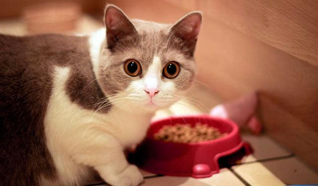 Кошек, породы манчкин можно кормить как натуральной пищей, так и готовыми кормами