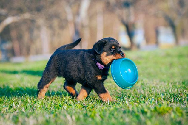 Сколько кормить щенка ротвейлера