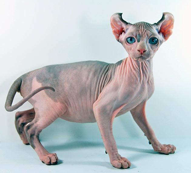 Рейтинг самых дорогих пород кошек: Эльф