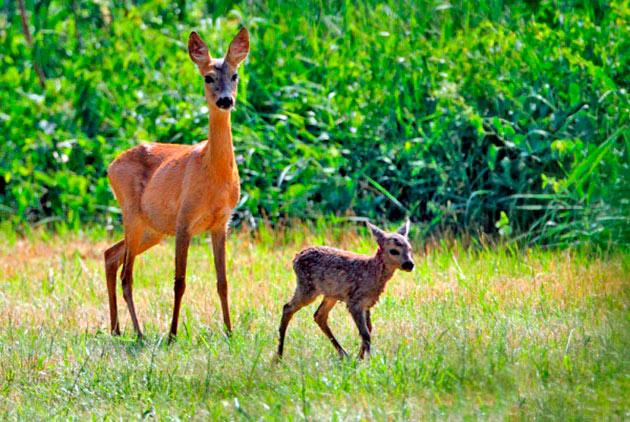 Как правило у европейских косуль рождается 1-2 детеныша