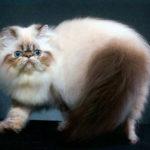 Породы кошек: Гималайская кошка