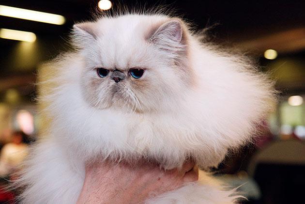 Гималайские кошки обладают хорошим здоровьем, но все же обладают рядом родовых пороков, поэтому не забывайте показываться ветеринару