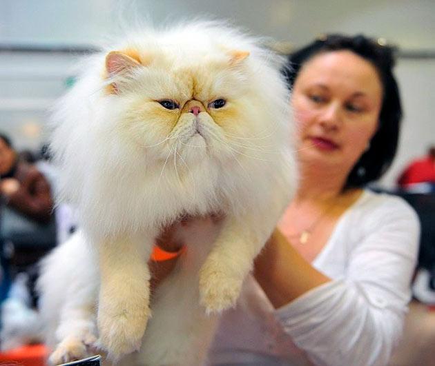 Гималайские кошки очень дружелюбны и обладают прекрасным характером