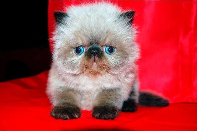 Средняя продолжительность гималайских кошек составляет 15 лет