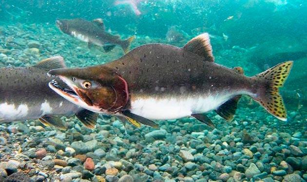 На мальков горбуши очень активно охотятся другие виды рыб, а взрослым рыбам достается от птиц
