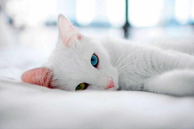 Рейтинг самых дорогих пород кошек: Као-мани