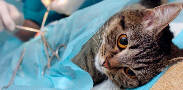 Перед кастрирование убедитесь, что кот здоров и сделаны все необходимые прививки