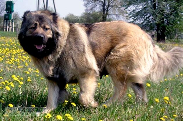 К основным стандартам породы кавказкой овчарки относятся: характер, голова, корпус