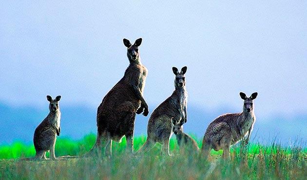 На сегодняшний день популяции кенгуру ничего не угрожает