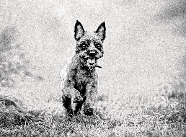 Породы собак: Керн-терьер