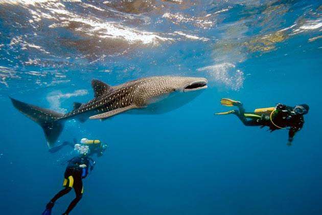 Китовая акула не представляет никакой опасности для человека