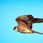 Кобчик (лат. Falco vespertinus)