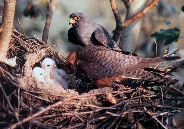 Кладка кобчика насчитывает примерно пять-семь яиц