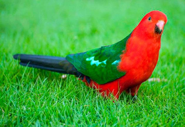 Основной ареал обитания королевских попугаев — территория Австралии