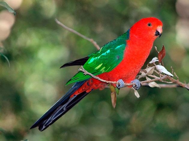 При надлежащем уходе королевские попугаю могут прожить до трех десятков лет