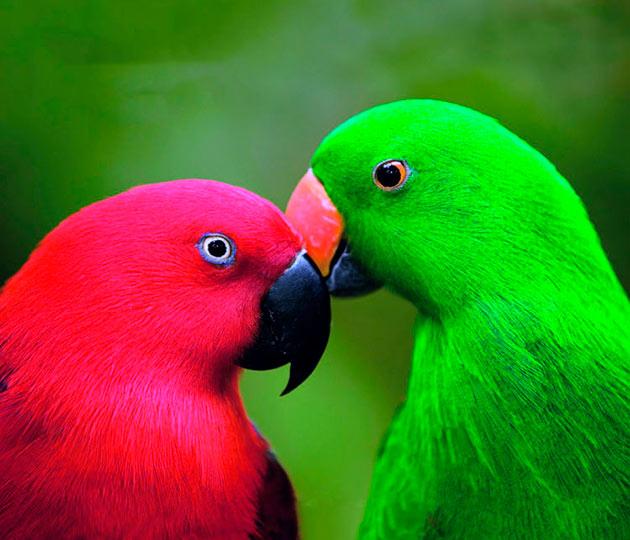 Самка королевского попугая откладывает от 2 до 6 яйц за раз
