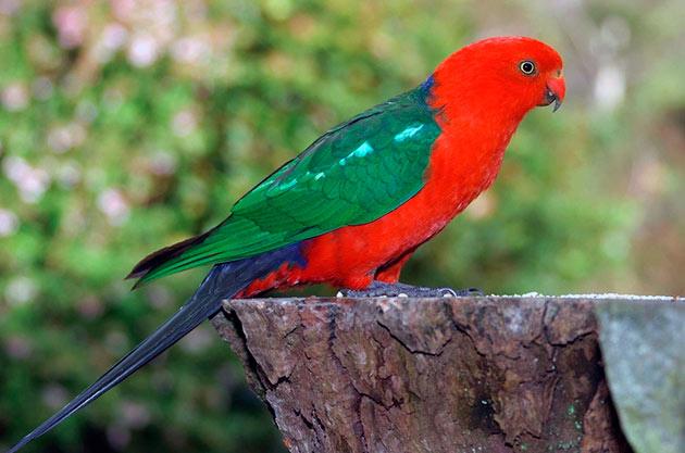 Королевские попугаи (Аlistеrus sсарulаris)