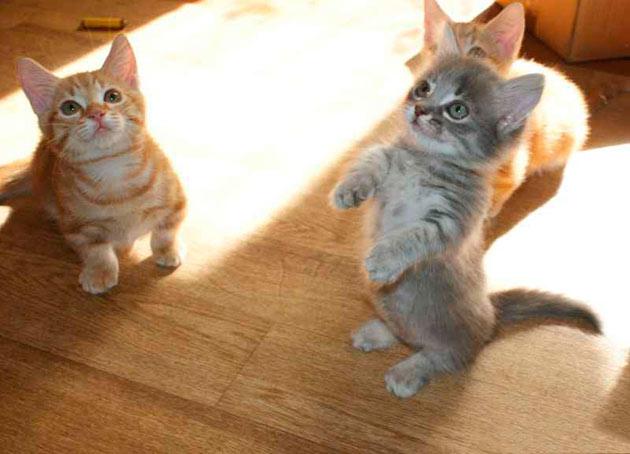 Перед покупкой котенка манчкина обратите внимание на его внешний вид и поведение