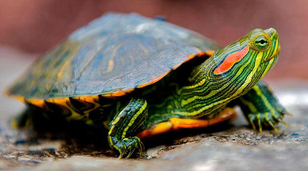 Правильно составленный рацион — залог здоровья красноухой черепахи