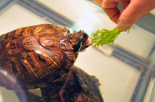 Рацион питания красноухой черепахи нужно составить тщательно, что бы у питомца не возникли проблемы со здоровьем