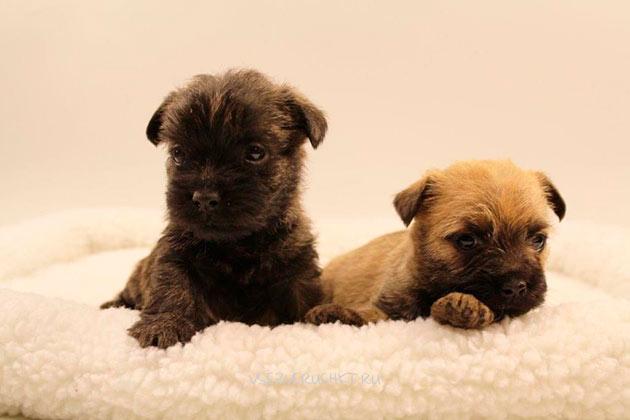 Перед покупкой щенка керн-терьера обязательно посмотрите на его поведение и внешний вид