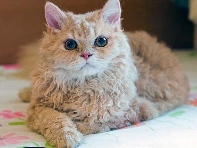 Рейтинг самых дорогих пород кошек: Лаперм