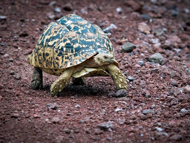 Леопардовая черепаха в основном обитает на африканском континенте
