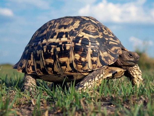 Даже с учетом природной брони у леопардовых черепах достаточно много врагов