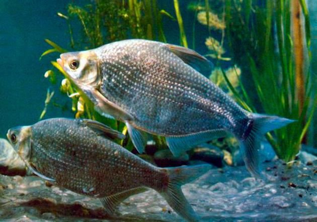 Отдельные подвиды леща на грани вымирания и взяты под охрану