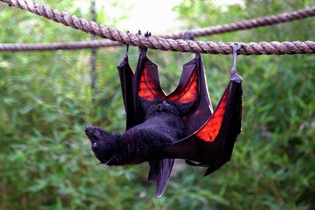 У летучих мышей есть ряд естественных врагов, но главный враг для них — человек