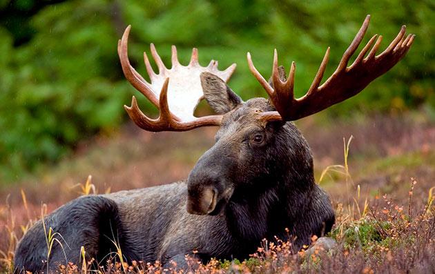 Сохатые совершенно неконфликтные животные, при появление опасности он всегда старается ретироваться, если это возможно
