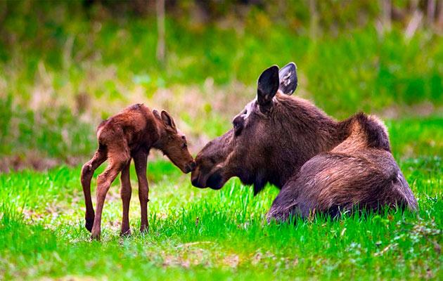 Самка лося рожает одного лосенка, реже двух