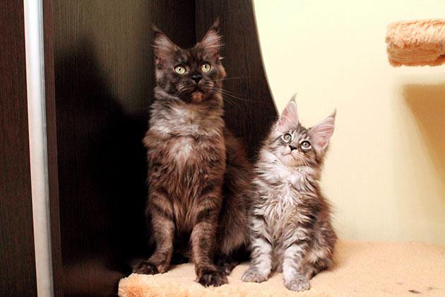 Рейтинг самых дорогих пород кошек: Мейн-кун