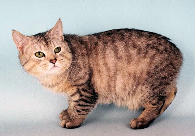Рейтинг самых дорогих пород кошек: Мэнкс