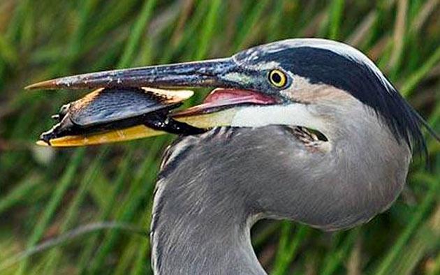 Птицы представляют реальную угрозу для мускусных черепах