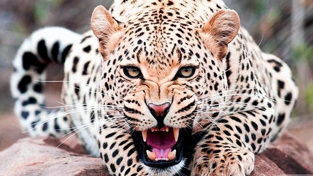 Самым грозным врагом мандрила является гепард