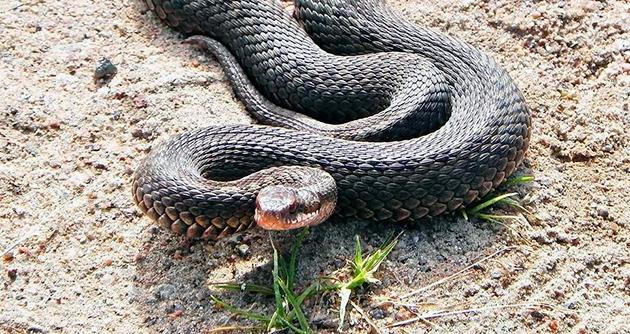 Гадюка обыкновенная относится к живородящим змеям, она не откладывает кладку яиц, а на свет появляются уже живые детеныши