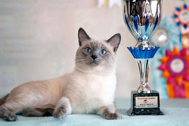 Тайские кошки отличаются средним размером, элегантным туловищем