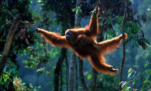 Почти все время орангутаны проводят на деревьях
