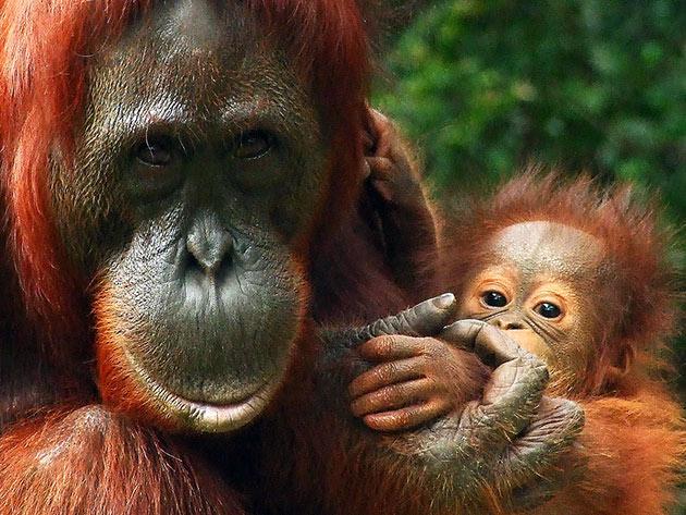 Самка орангутаны за всю жизнь успевает воспитывает воспитать не более 6 детенышей
