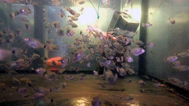 Мальков пираньи отселяют в отдельный аквариум