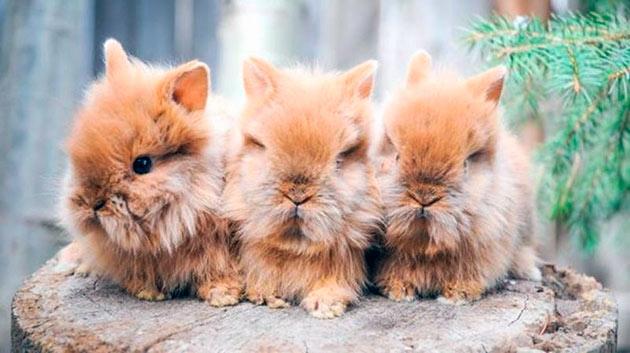 Львиноголовый кролик должен быть активным, без пушистый, без проплешин