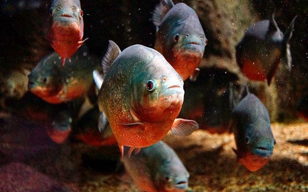 Содержать пиранью дома лучше аквариумистам эксперту, так как эта рыба дорогостоящая и экзотическая
