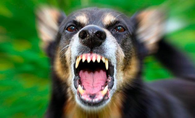 Половая агрессия собак возникает в период гона у кобелей и течки у сук