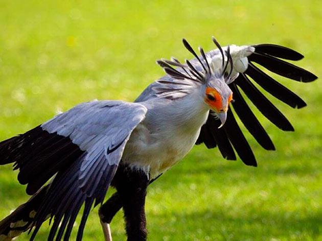 Птицы секретари создают моногамные пары и верну друг другу всю жизнь