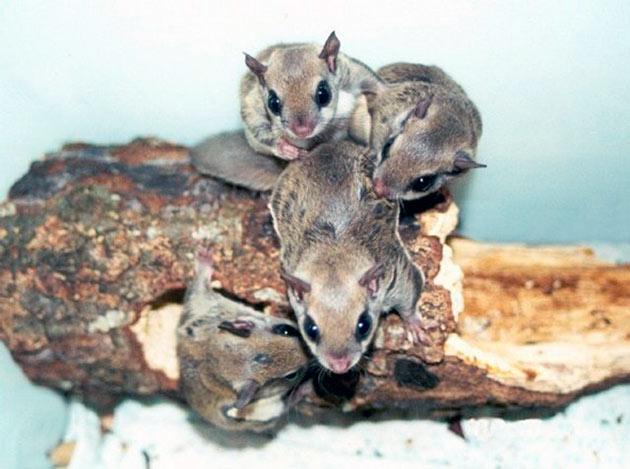 Охота на летяг ограничена, а на некоторые подвиды запрещена ввиду малой численности
