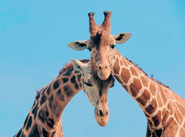 На сегодняшний день жираф хоть и находиться в красной книге, но удалось добиться постепенного увеличения его численности
