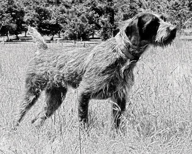 Породы собак: Дратхаар
