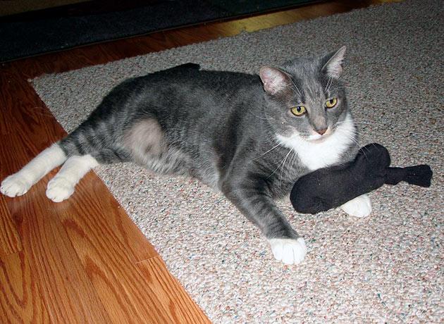 Особенность беременности кошки на ранних стадиях является сначала потеря аппетита, а потом наоборот
